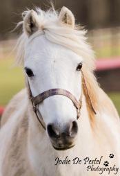 Farouk, een C-pony met af en toe wat kapoenenstreken, zoals het hoort bij een echte pony. Hij is de beste vriend van Lima.