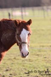 Freddy, een pony met veel spring- en dressuurtalent, maar tegelijkertijd soms eigenzinnig…