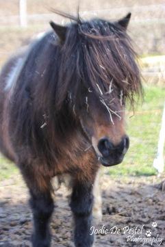 Leentje, ook een pony die gebruikt wordt voor de allerkleinsten. Zij verwacht dit jaar een veulentje, suggesties voor namen (zoals merrie als hengst) mogen zeker doorgegeven worden!